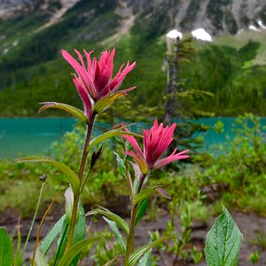 Indian paintbrush near Sherbrooke Lake