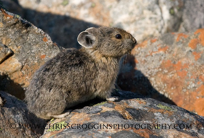Pika and Lichens