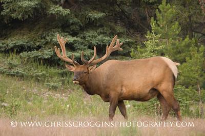 Wapiti Elk Bull
