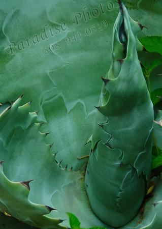 Cactus center 9078