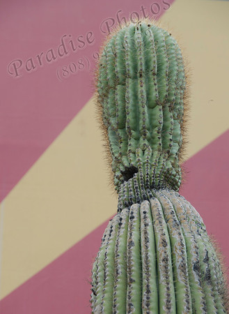 cactus on pink & beige wall 9127