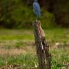 Little Blue Heron, Clear Creek