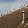 These ibis took to our next-door neighbor's roof