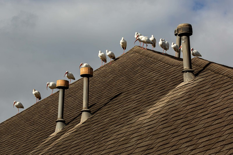 Ibis on the Roof