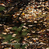 Fallen Leaves in Wetland - Westchester Wilderness Walk, Pound Ridge, NY