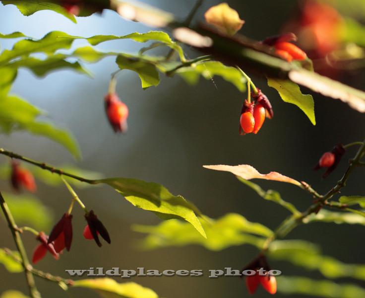 Winged Euonymous - Westchester Wilderness Walk, Pound Ridge, NY