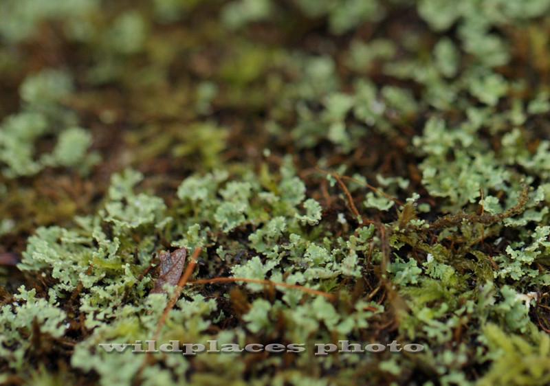Westchester Wilderness Walk, Pound Ridge, NY - Liverwort