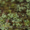 Westchester Wilderness Walk, Pound Ridge, NY - Liverwort
