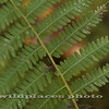 Fern - Westchester Wilderness Walk, Pound Ridge, NY