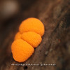 Orange Fungus - Westchester Wilderness Walk, Pound Ridge, NY (hand-held shot)