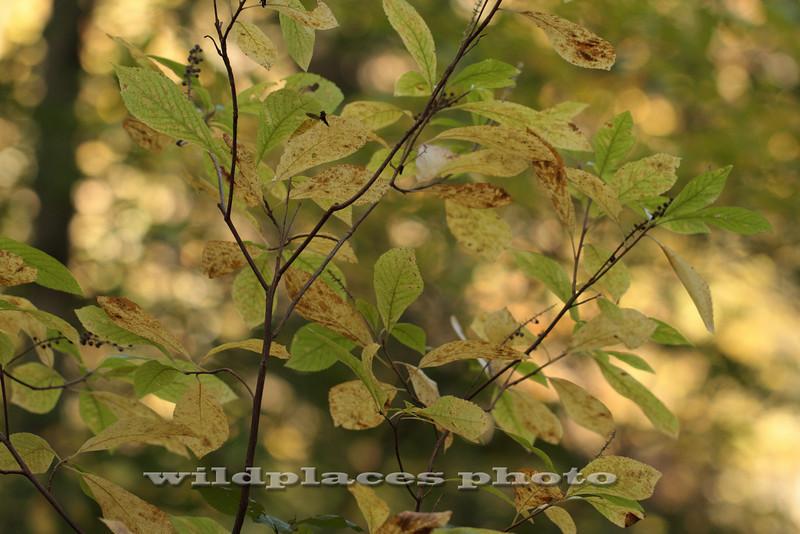 Spice Bush - Westchester Wilderness Walk, Pound Ridge, NY