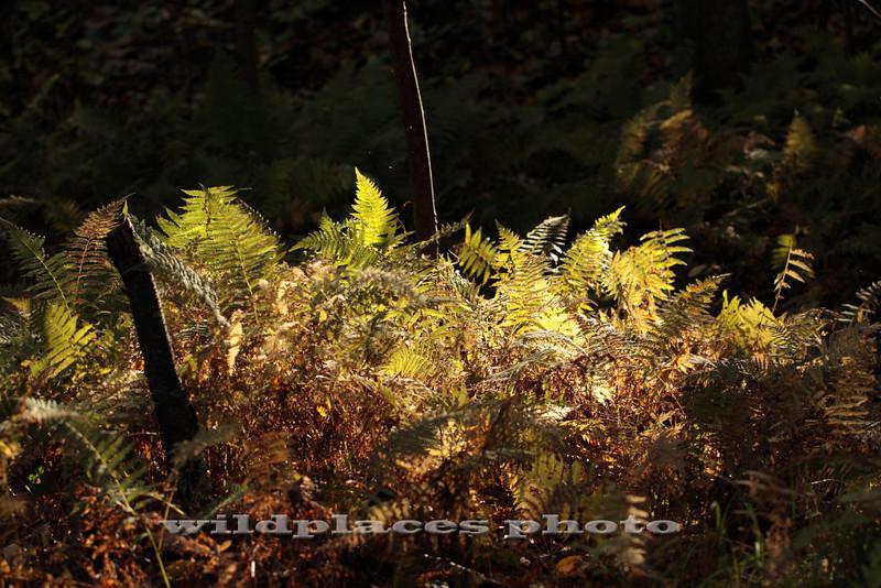 Fern Glen - Westchester Wilderness Walk, Pound Ridge, NY