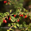 Barberry Branch - Westchester Wilderness Walk, Pound Ridge, NY