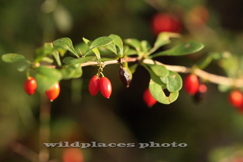 Barberry Berries - Westchester Wilderness Walk, Pound Ridge, NY