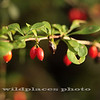 Barberry Berries - Westchester Wilderness Walk, Pound Ridge, NY