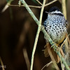 Drymophila genei<br /> Choquinha-da-serra<br /> Rufous-tailed Antbird<br /> Tiluchí colirrufo