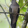 Patagioenas plumbea<br /> Pomba-amargosa<br /> Plumbeous Pigeon<br /> Paloma plomiza