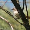 Phacellodomus rufifrons<br /> João-de-pau<br /> Rufous-fronted Thornbird<br /> Espinero frente rojiza - Añumby'i