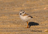 A Piping Plover chick that was on our beach.