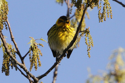 male Cape May Warbler Wyalusing State Park May 2014
