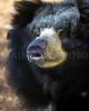 The female Sloth Bear grunts a warning.  Capron Park Zoo.  Attleboro, MA.