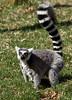 The Ring Tail Lemur.  Capron park Zoo.  Attleboro, MA.