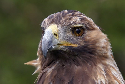 Golden Eagle (Captive)