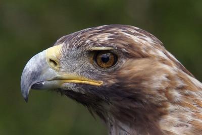 Golden Eagle (Captive)