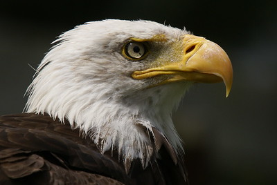 Bald Eagle (Captive)