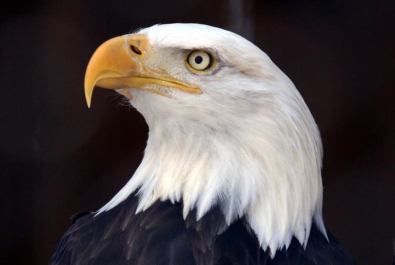 The classic bald eagle headshot.