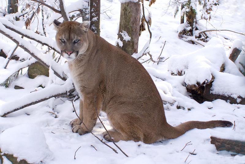 Mountain Lion (aka Cougar)