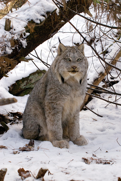 Bobcat (aka Lynx)
