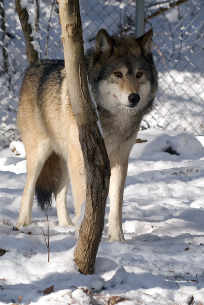 Here is the original wolf shot (with the fence i tried blurring out).