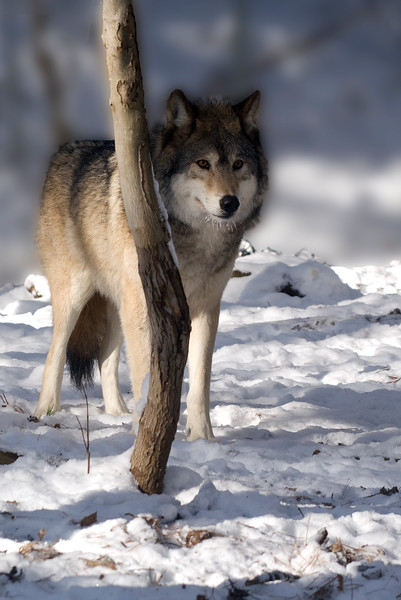Wolf (Canis Lupis). Edited this image a bit to try and blur out the background.