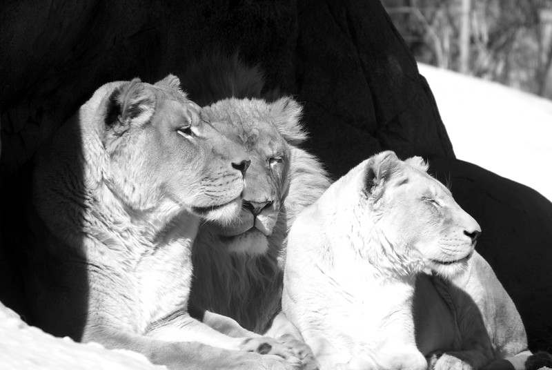 Mother lion with two children.