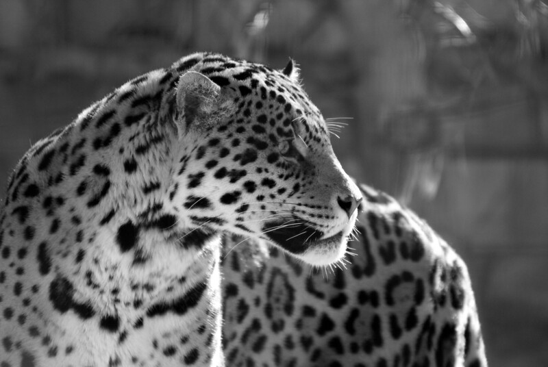 Jaguar came out of enclosure briefly in the -10C weather. Shot with Sigma 50-500 through the surrounding mesh enclosure.