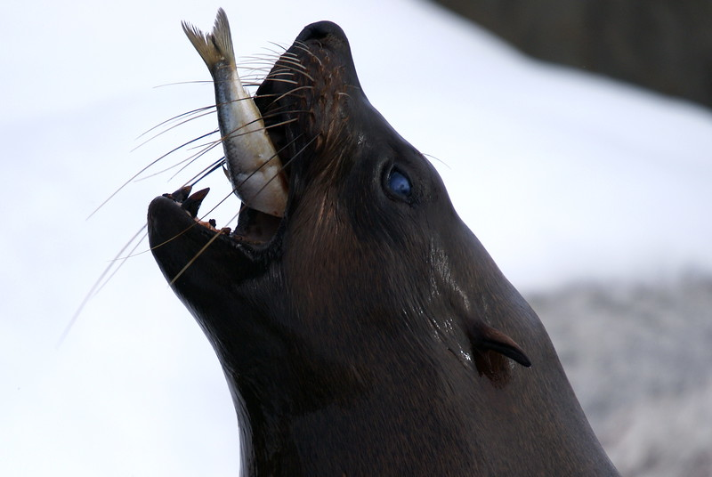 South African Fur Seal (male)