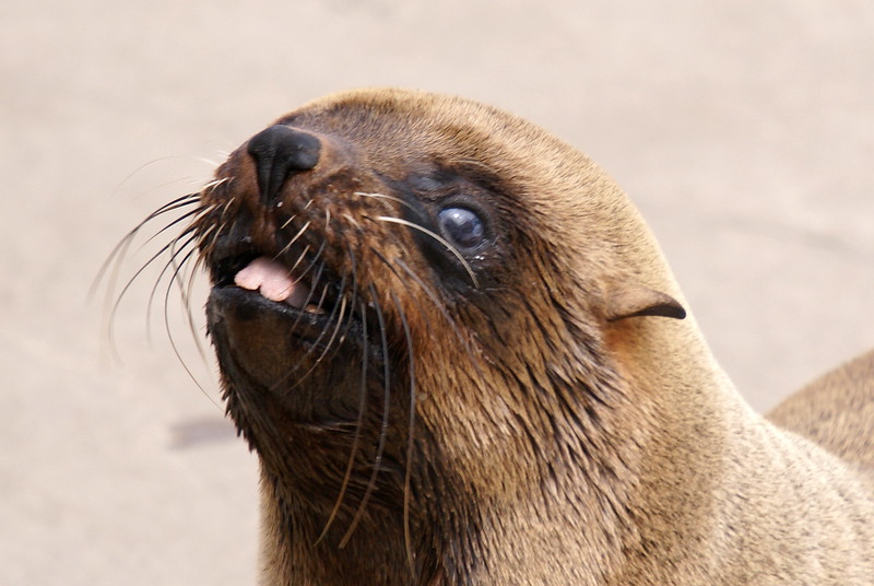 South African Fur Seal (female)