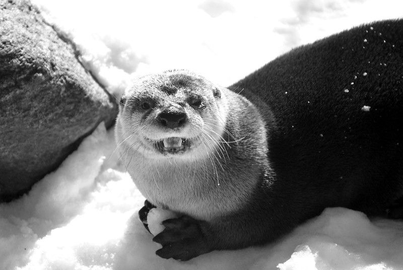 Otter stopped to look up at me while eating ice/snow chunks broken off from base of rock to his left.