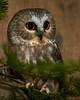 Captive Saw-Whet Owl, Chewonki Foundation, Wiscasset, Maine