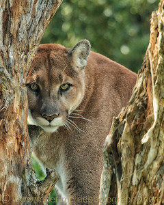 """Large male Mountain Lion """"Fraser"""" at the Kamloops Wildlife Park."""