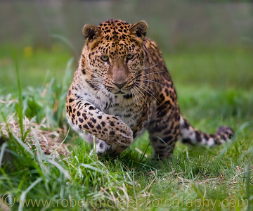 """Beware of the Charging Leopard"" - Award Winner.  Amur Leopard at Great Cats World Park."