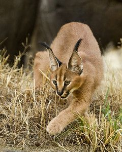 Caracal cub at the Oregon zoo.