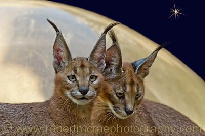 """Cats From Another World"" - Award Winner (Photo Art) Taken at the Oregon Zoo."