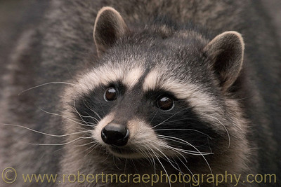 """The Bandit"" - Award Winner.  Raccoon at Northwest Trek."