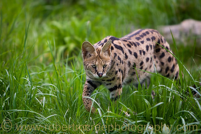 Serval at Great Cats World Park.