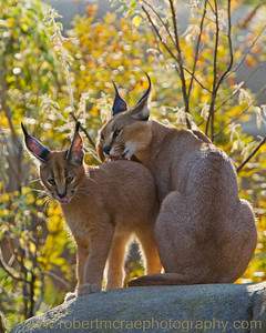 Caracal cub gets a bath at the Oregon Zoo.