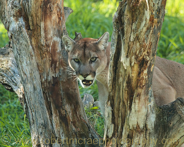 Female Mountain Lion at Kamloops Wildlife Park.