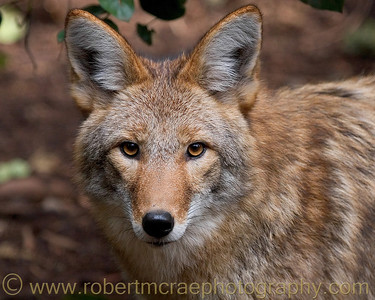 """Stare-struck"" - Award Winner.  Coyote at Northwest Trek."