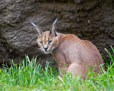 "Caracal male ""Cricket"" at the Oregon Zoo."